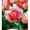Bulbi Lalele Apricot Parrot (Tulip)