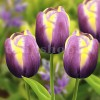Bulbi Lalele Arabian Beauty (Tulip)