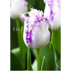 Bulbi Lalele Aria Card (Tulip)
