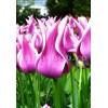 Bulbi Lalele Ballade (Tulip)
