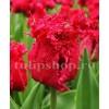 Bulbi Lalele Barbados (Tulip)