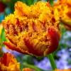 Bulbi Lalele Bastia (Tulip)