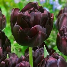 Bulbi Lalele Black Hero (Tulip)
