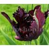 Bulbi Lalele Black Parrot (Tulip)