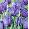 Bulbi Lalele Blue Parrot (Tulip)
