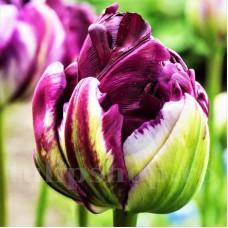 Bulbi Lalele Blue Wow (Tulip)
