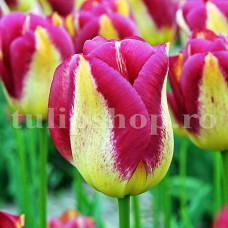 Bulbi Lalele Boston (Tulip)