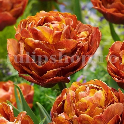 Bulbi Lalele Brownie (Tulip)