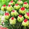 Bulbi Lalele Bull's Eye (Tulip)