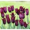 Bulbi Lalele Burgundy (Tulip)