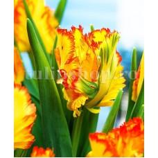 Bulbi Lalele Caribbean Parrot (Tulip)