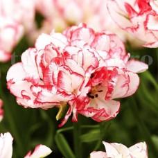 Bulbi Lalele Cartouche (Tulip)