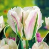 Bulbi Lalele China Town (Tulip)