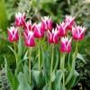 Bulbi Lalele Claudia (Tulip)