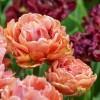 Bulbi Lalele Copper Image (Tulip)