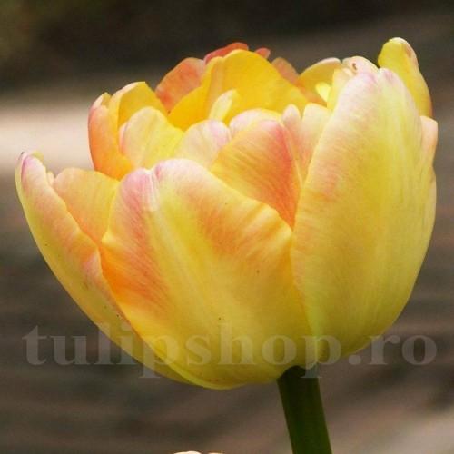 Bulbi Lalele Creme Upstar (Tulip)