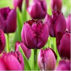 Bulbi Lalele Curly Sue (Tulip)