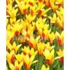 Bulbi Lalele Cynthia (Tulip)