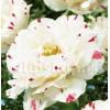 Bulbi Lalele Dance Line (Tulip)