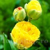 Bulbi Lalele Double Beauty of Apeldoorn (Tulip)