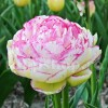 Bulbi Lalele Double Touch (Tulip)