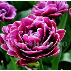 Bulbi Lalele Dream Touch (Tulip)