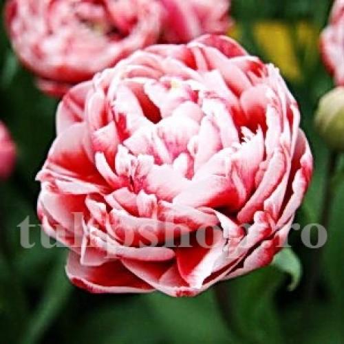 Bulbi Lalele Drumline (Tulip)