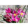Bulbi Lalele Eastern Star (Tulip)