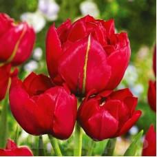 Bulbi Lalele Estatic (Tulip)