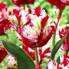 Bulbi Lalele Estelle Rijnveld (Tulip)