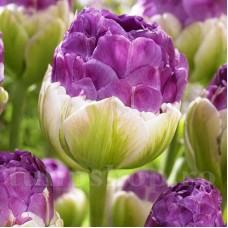 Bulbi Lalele Exquisit (Tulip)