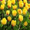 Bulbi Lalele Flamenco (Tulip)