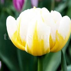 Bulbi Lalele Flaming Evita (Tulip)