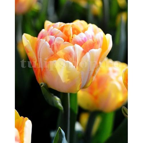 Bulbi Lalele Foxy Foxtrot (Tulip)