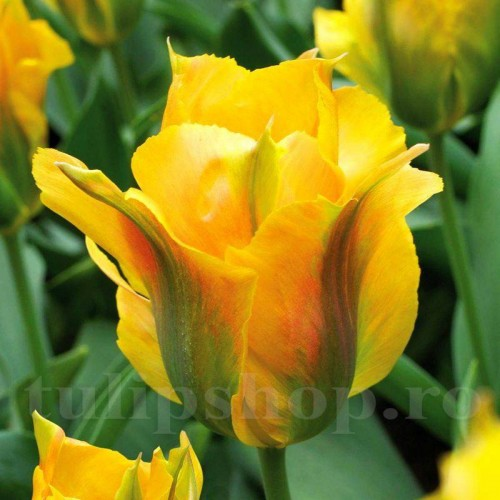 Bulbi Lalele Golden Artist (Tulip)