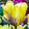 Bulbi Lalele Golden Lizard (Tulip)