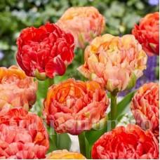 Bulbi Lalele Gudoshnik Double (Tulip)