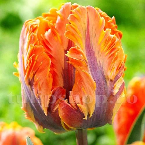 Bulbi Lalele Irene Parrot (Tulip)