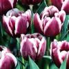 Bulbi Lalele Jackpot (Tulip)