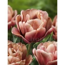 Bulbi Lalele La Belle Epoque (Tulip)