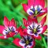 Bulbi Lalele Little Beauty (Tulip)