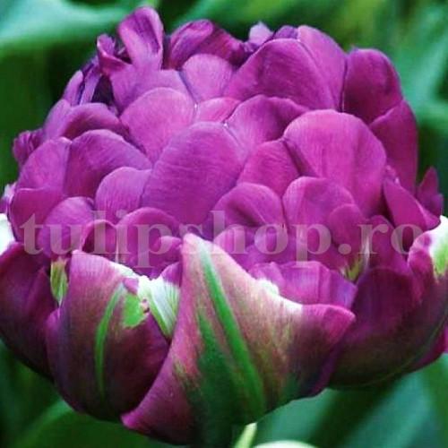 Bulbi Lalele Negrita Double (Tulip)