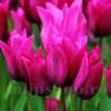 Bulbi Lalele Night Club (Tulip)