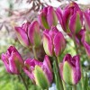 Bulbi Lalele Nightrider (Tulip)