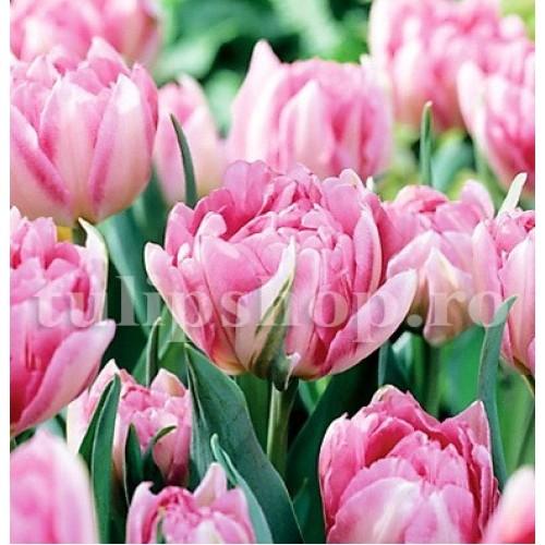 Bulbi Lalele Peach Blossom (Tulip)