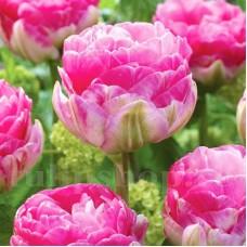 Bulbi Lalele Pinksize (Tulip)