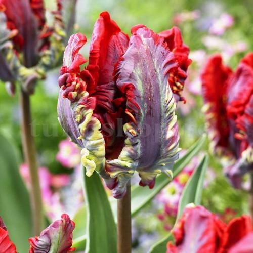 Bulbi Lalele Rococo (Tulip)