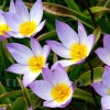 Bulbi Lalele Saxatilis (Tulip)