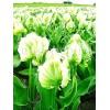 Bulbi Lalele Super Parrot (Tulip)