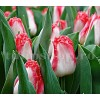 Bulbi Lalele Sweet Simone (Tulip)